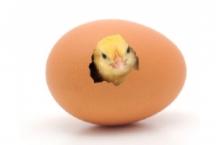 بيض تفريخ